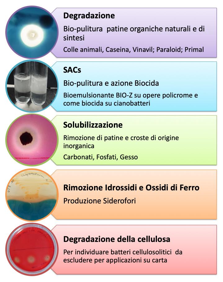 Test di laboratorio per saggiare le funzioni metaboliche dei batteri utili per la bio-pulitura delle opere d'arte e per evitare effetti indesiderati sul materiale dell'opera. A sinistra poste in verticale, ci sono 5 foto circolari. Accanto ad ognuna, sulla destra, una cornice riporta la descrizione sintetica della tecnica e della finalità del saggio.  Dall'alto verso il basso ci sono: -Degradazione di proteine e lipidi. Cornice e riquadro di colore viola. La foto mostra un test di degradazione positivo: una colonia batterica al centro di un alone chiaro su sfondo blu. Il terreno di coltura solido contiene le sostanze da degradare legate ad un colorante blu, se i batteri digeriscono le sostanze tutt'attorno alla colonia si crea un alone senza pigmento, chiaro, ben visibile, se il test è negativo il terreno rimane di colore blu. -Produzione di bio-emlulsionanti. Cornice e riquadro di colore celeste. In foto due provette contenenti del liquido. Nella provetta a sinistra il liquido è uniforme mentre in quella a destra si nota una stratificazione di una soluzione bianco lattiginoso sopra il liquido trasparente. La formazione di un'emulsione in una miscela acqua-solvente apolare indica che il ceppo batterico è in grado di produrre un bio-emulsionante. -Solubilizzazione di substrati inorganici (gesso, carbonati, fosfati). Cornice e riquadro di colore verde .Come nel caso della degradazione di patine il terreno solido contiene un colorante rosa legato al substrato da degradare: il test è positivo se si produce un alone chiaro sullo sfondo rosa. -Produzione di siderofori, chelanti il ferro. Cornice e riquadro di colore arancio. In foto un ceppo microbico positivo al test: su un terreno solido contenente un pigmento blu legato al ferro, il batterio producendo siderofori lega il ferro e determina il viraggio del terreno da blu a giallo. -Degradazione della cellulosa. Cornice e riquadro di colore rosso. In foto un ceppo batterico cellulosolitico che produce un alone chiaro su t
